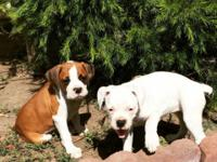 6 boxer puppies looking for their forever homes. Tails