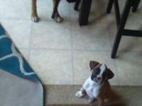 Purebred Boxer puppy 8wks old..1st set of shots &