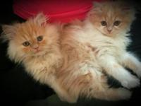 I have an adorable female cameo persian female ready