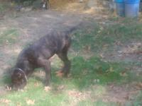 Male brindle Cane Corso 8 month old pup, ears and tail