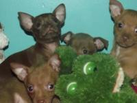 Feast your eyes on four drop-dead ADORABLE chihuahua