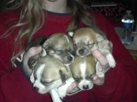 Purebred Chihuahua puppies looking for fur-ever homes.