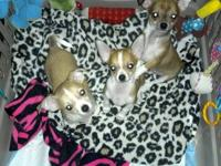 Purebred short-haired Chihuahua puppies are ready for