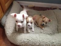Hello, I have 3 Chihuahua puppies 10 weeks old born