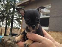 Purebred Chihuahua new puppies available for sale (no