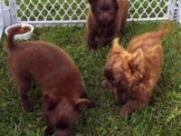 Purebred Chighuaghua puppies, chocolate, longhair, 2