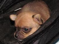 I have 2 male purebred Chihuahua puppies. they both