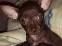 Wendy is a beautiful purebred Chihuahua chocolate with