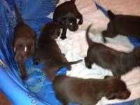 Purebred Chocolate Labs for sale. Dam is AKC and Sire