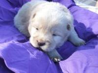 I have a litter of 6 chow chow puppies. Born July