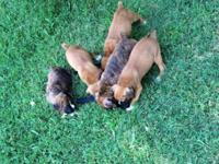 I have Beautiful pure bred CKC papered boxer puppies