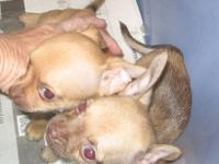I have two Chihuahua puppies that will be ready for new