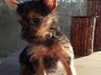 I have 4 purebred Yorkies. Two males and two females,