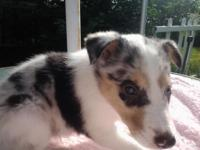 I have a female rough coat blue merle collie pup that