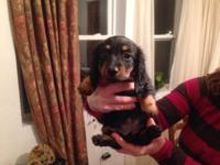 Gorgeous litter of purebred Dachshund puppies. They are