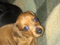 Hi, my name is Paisley. I am a brown dapple Dachshund.