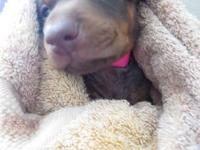 Female Doberman Pincher puppy available for adoption.