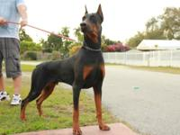 Beautiful Doberman pinscher puppy for sale.Only a black