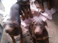 2 Black and Rust and 2 Red and Rust Males 3 Months old