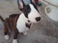16 week old purebred bull terrier puppies born December