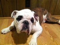 Purebred english bulldog male. He's able to be