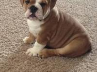 Hello, We have 6 beautiful English Bulldogs looking for