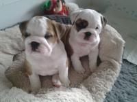 I am rehoming my Purebred English Bulldog puppies