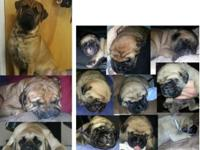 Purebred English Mastiff Puppies !! $800.00. Available