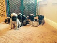 Taking deposits on purebred English Mastiff puppies