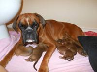 All of our purebred European Boxer puppies will be born