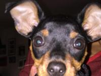 15 week old min pin female puppy. She has all her