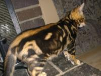 TICA registered Bengal babies, gorgeous quality and