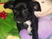 Jill is a beautiful purebred Chihuahua black with white