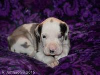 Puzzle is a purebred Great Dane Puppy (no papers). She