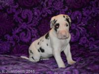 Sweetheart is a purebred Great Dane Puppy (no papers).