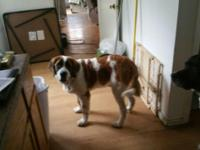I have a beautiful purebred Saint Bernard unaltered
