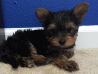 We have a precious 8 week old purebred yorkie infant