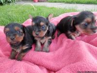 I have three nice purebred Yorkie puppies born 5/2/13,