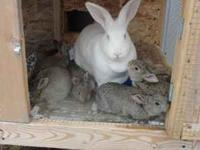 Pure bred Flemish Giant bunnies for sale. 1 steal grey,