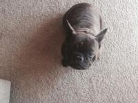 I have a really fun reverse brindle female Frenchie for