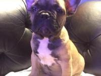Full Akc Registration French Bulldog Puppy born May