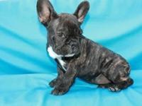 European line short and compact 100% Purebred French