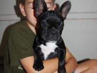 Two Frenchies.... Miss Kira was born on April 7th and