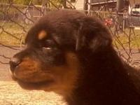 Gorgeous purebred young female German Rottweiler