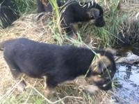 Hello ebay I`m selling 7 beautiful german shepard