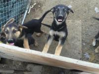 Beautiful German Shepard puppies for sale. (Short