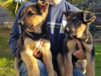 Hello, I am selling 3 purbreed german shepherd puppies,