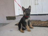 We have some beautiful purebred German shepard pups