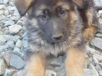 We have numerous purebred German Shepherd new puppies