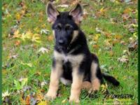 6 months old puppy, he is a working line GSD, we do not
